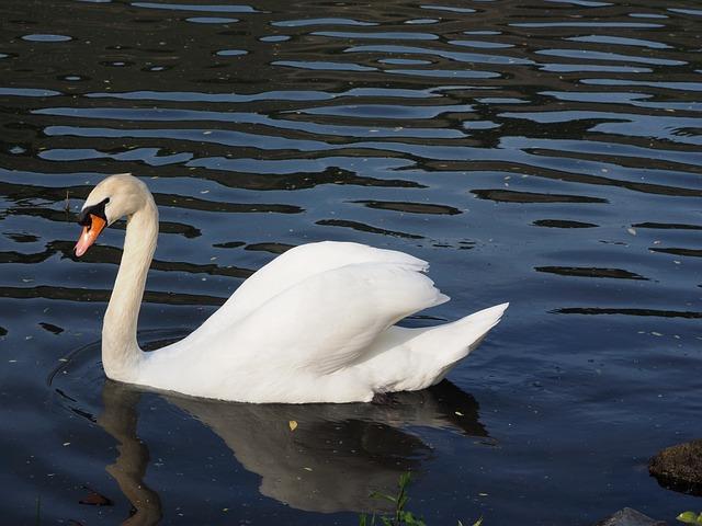 Swan, Males, Water Bird, White, Mosel, River, Bird