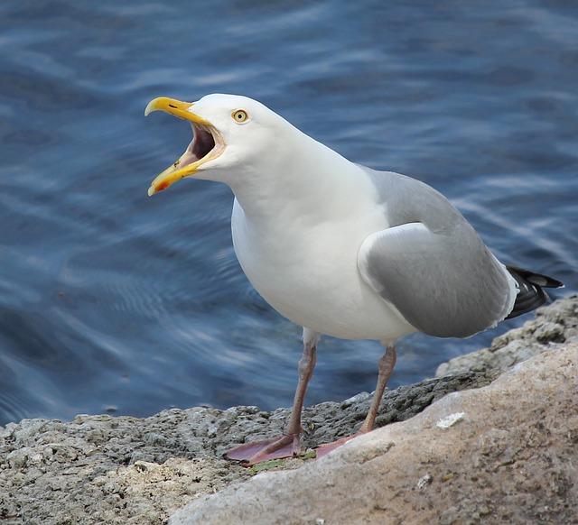 Herring, Gull, Fox, River, Bird, Nature