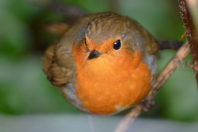 Robin, Bird, Nature