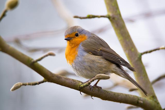 Robin, Bird, Nature, Animal World, Close Up, Small Bird
