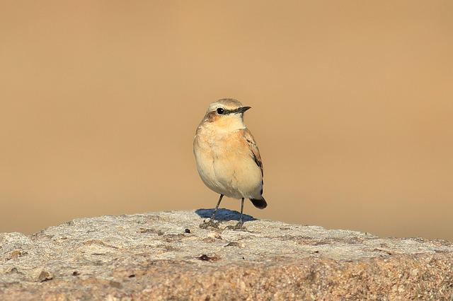 Bird, Gray, Gray Wheatear, Wheatear, Cute, Scott