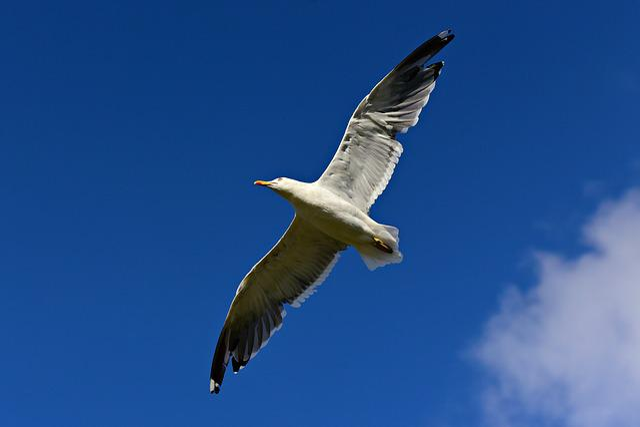 Seagull, Bird, Seabird, Animal, Wildlife, Flight