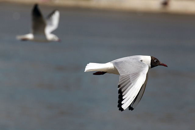 Seagull, Flying, Bird, Fly, Wings, Feather, Wildlife