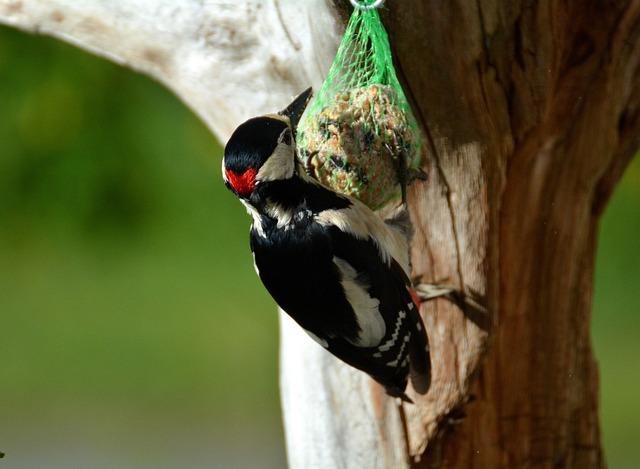 Great Spotted Woodpecker, Woodpecker, Bird, Bird Seed