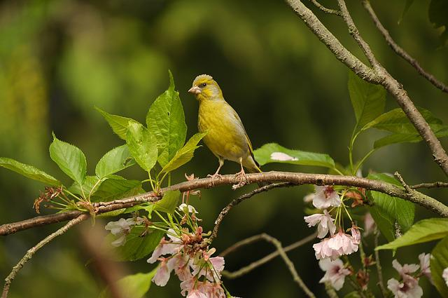 Greenfinch, Fink, Bird, Yellow Green, Road, Sitting