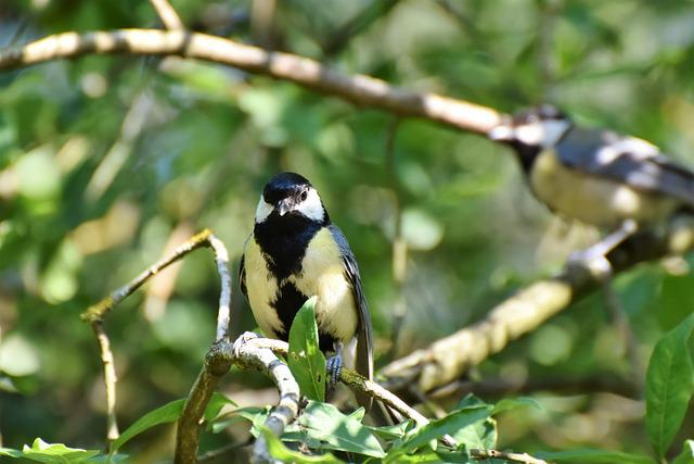 Tit, Songbird, Bird, Small Bird, Plumage, Sitting