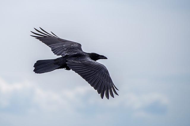 Bird, Raven, Flight, Sky