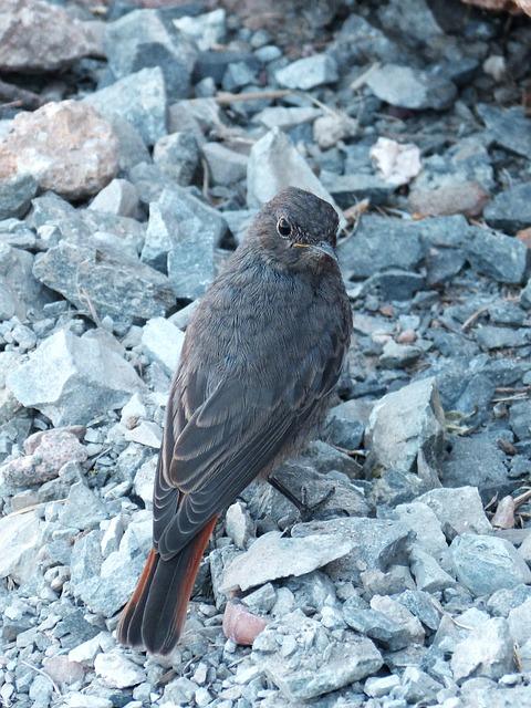 Phoenicurus Ochruros, Black Redstart, Smoked, Bird