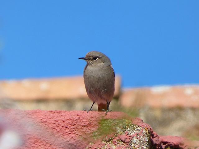 Bird, Roof, Black Redstart, Smoked Cotxa