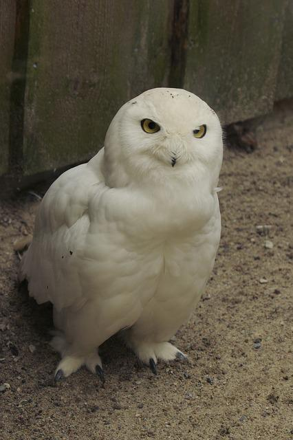 Snowy Owl, Bubo Scandiaca, Bird, Male, Tallinn Zoo