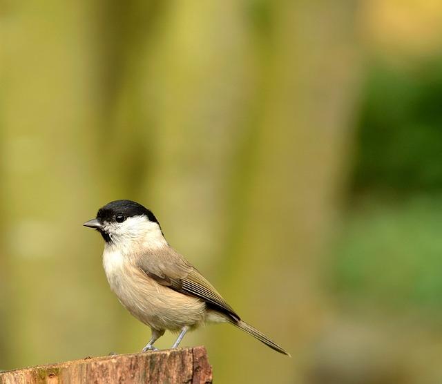 Animal World, Bird, Nature, Songbird, Marsh Tit, Garden