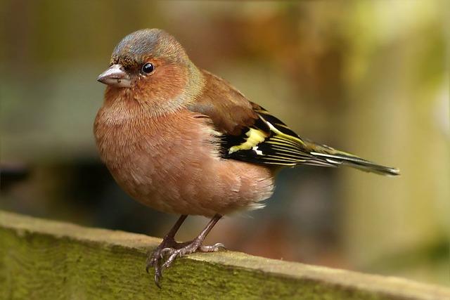 Bird, Songbird, Chaffinch, Fringilla Caelebs, Male