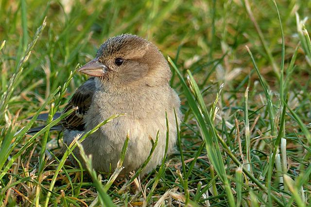 Sparrow, Passer Domesticus, Young, Bird, Foraging