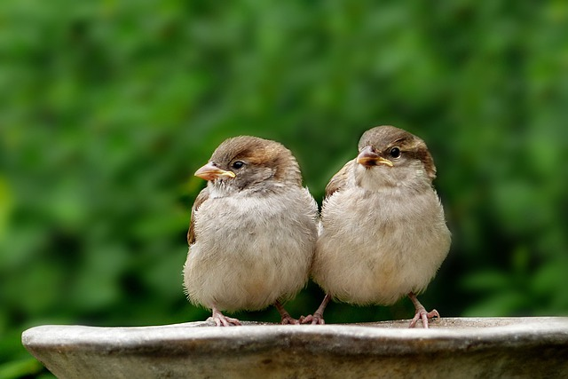 Animal, Bird, Songbird, Sparrow, Sperling