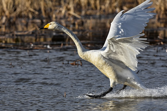 Animal, Pond, Water, Spray, Bird, Wild Birds, Swan