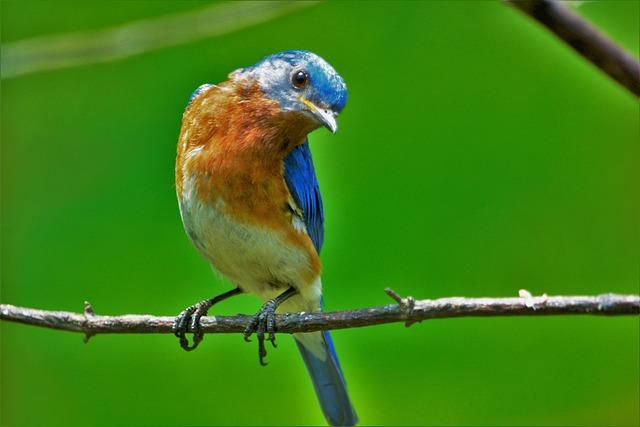 Bird, Oriole, Bluebird, Colorful, Staring, Orange, Blue