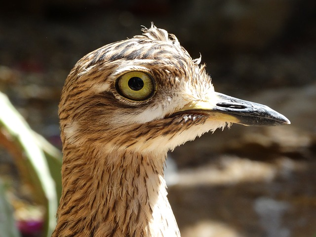 Stone Curlew, Bird, Stilt-walker