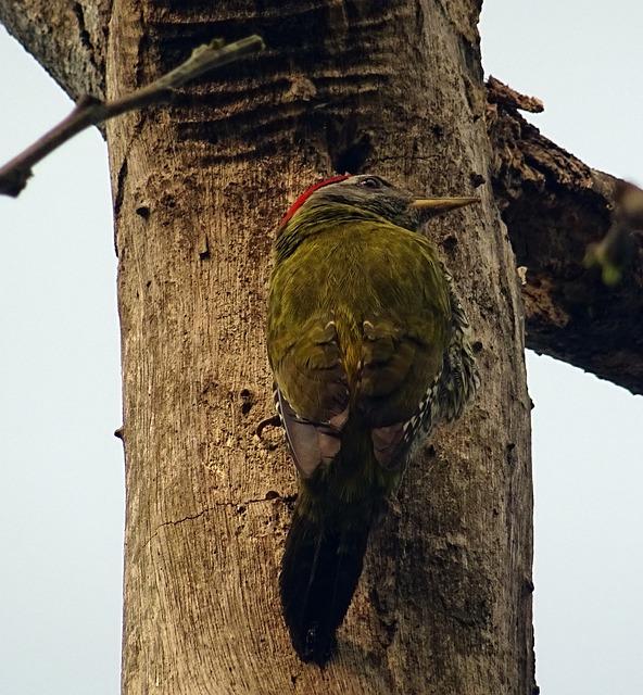 Streak-throated Woodpecker, Bird, Woodpecker