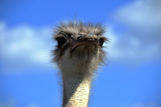 The Ostrich, Ostrich Head, Beak, Fluff, Bird, Stupid