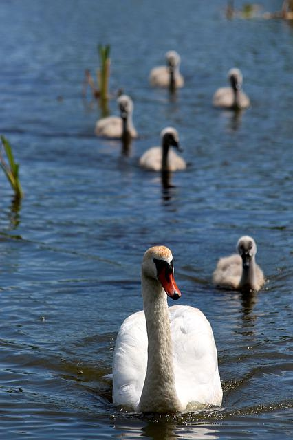 Swan, A Swan-shipun, Bird, Chicks, Animal, Water, Float