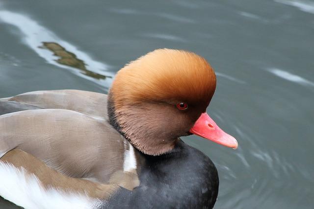 Water, Duck, Bird, Lake, Living Nature, Swim, Waterfowl