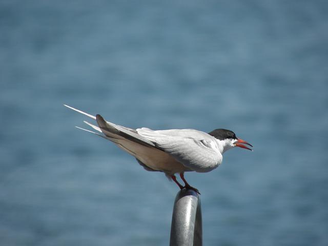Bird, Tern, Nature, Sea-bird, Sea