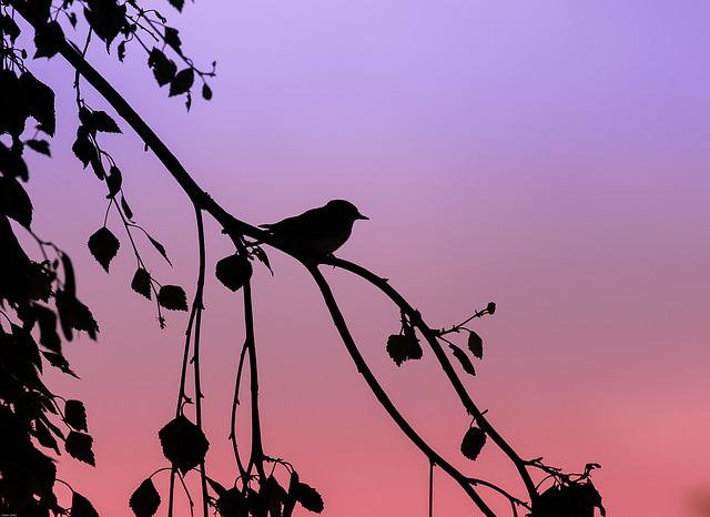 Tit, Crested Tit, Bird, Songbird, Abendstimmung, Animal