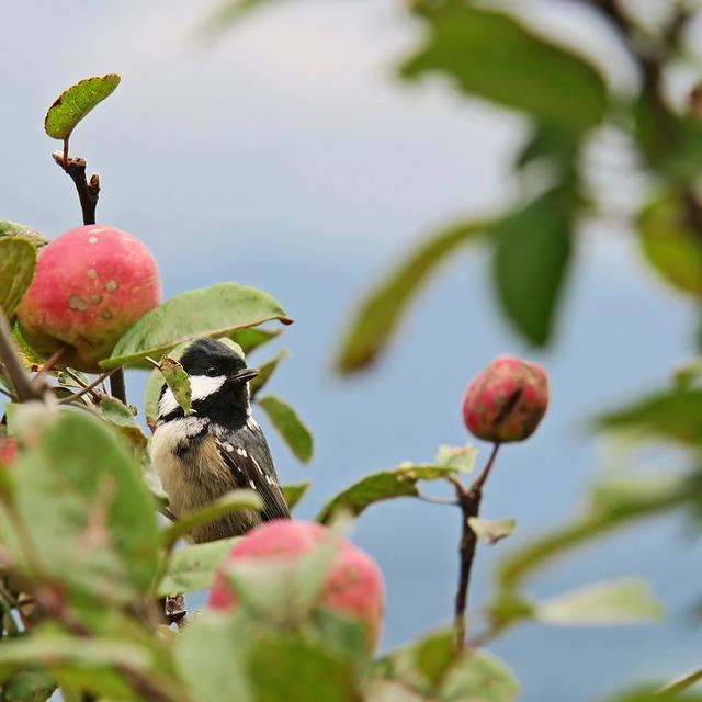 Tit, Bird, Coal Tit, Apple