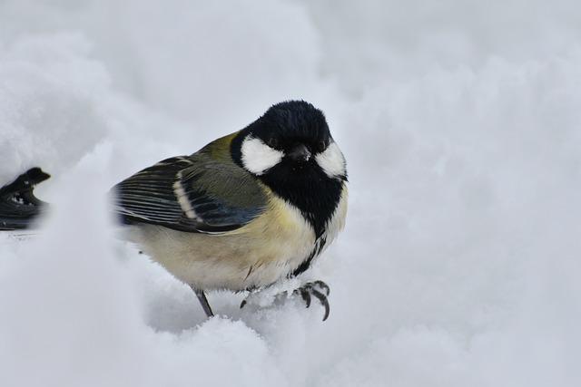 Animal, Bird, Wild Birds, Little Bird, Tits, Seasonal