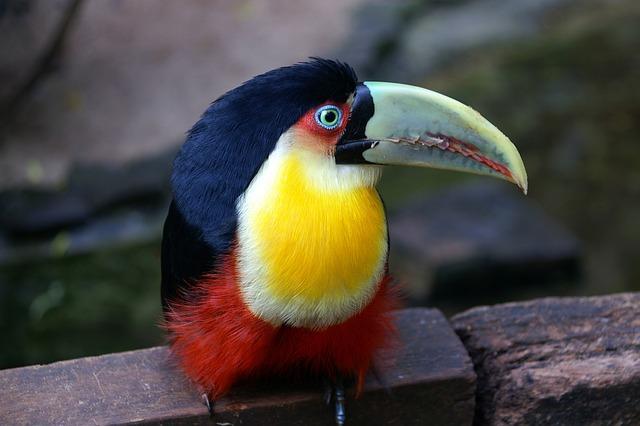 Brazil, Toucan, Bird, Tropical Bird, South America