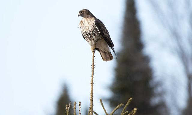 Hawk, Bird, Red, Tail, Feather, Tree, Top, Wildlife