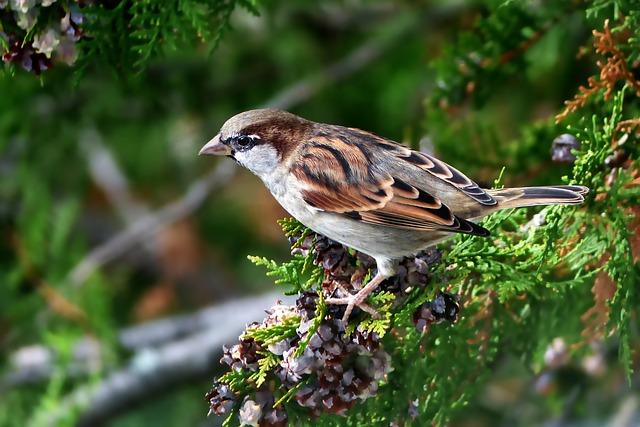 Nature, Bird, Animal World, Tree, Sperling, Thuja