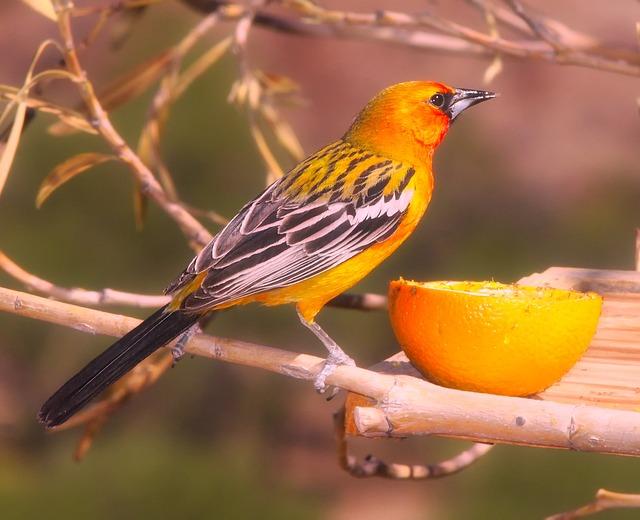 Oriole, Bird, Wildlife, Twig, Branch, Tree, Macro