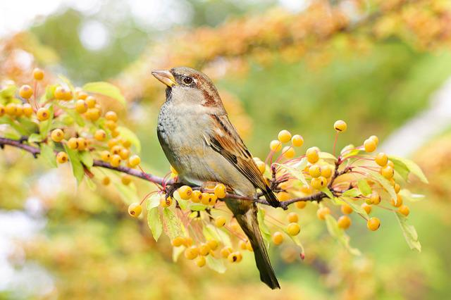 Bird, Sparrow, Berries, Branch, Perched, Twig, Nature