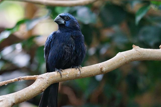 Ultramarine Bishop, Songbird, Vertebrate, Bird