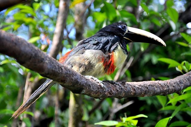 Bird, Birds, Toucan, Beak, Pen, Venezuela