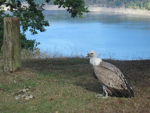 Vulture, Bird Of Prey, Scavengers, Raptor, Bird