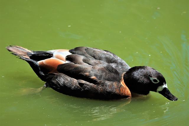 Australian Shelduck, Wading, Water, Bird, Watching