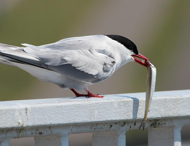 Arctic Tern, Eat, Fish, Food, Tern, Bird, Water Bird