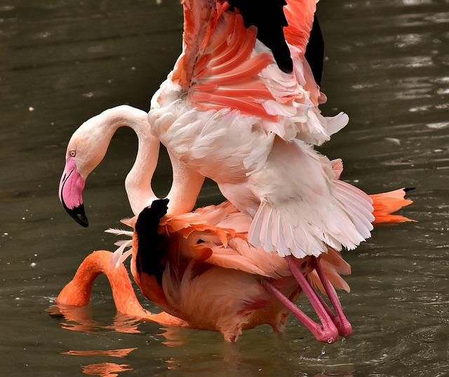 Flamingo, Bird, Pairing, Water, Colorful, Feather