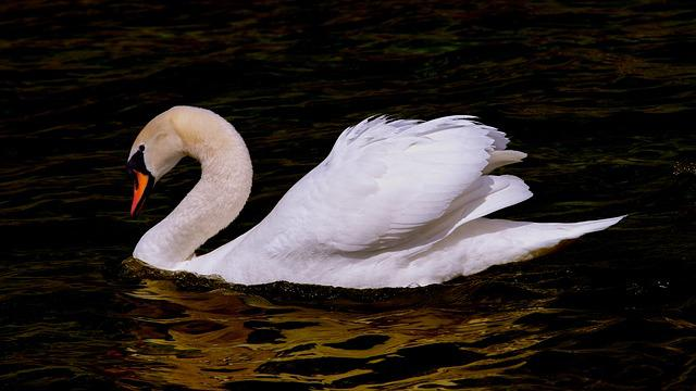 Swan, Water Bird, Bird, Plumage, White, Anumtig, Waters