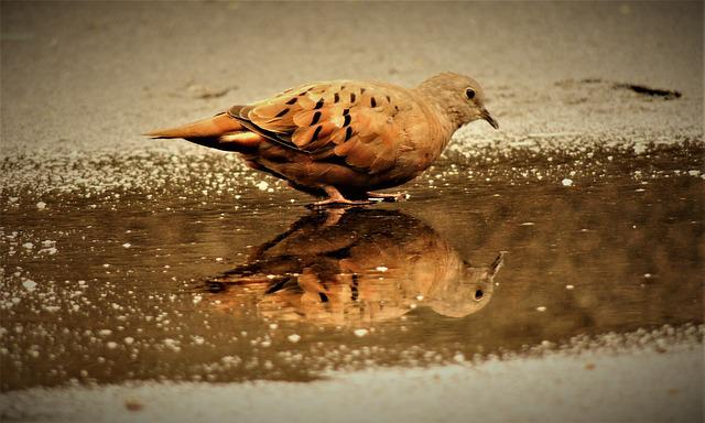 Ruddy Ground Dove, Weasels, Birdie, Bird, Mirror