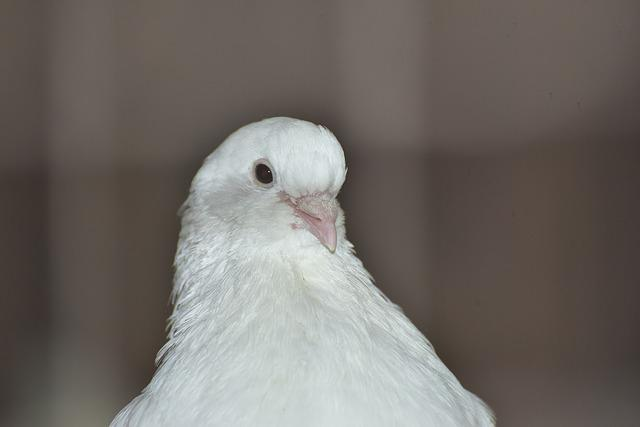 Dove, White, Bird, Beautiful, Plumage, White Dove