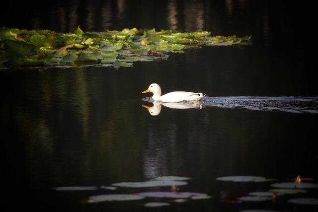 Duck, White Duck, White, Water, Animal, Bird, Lake