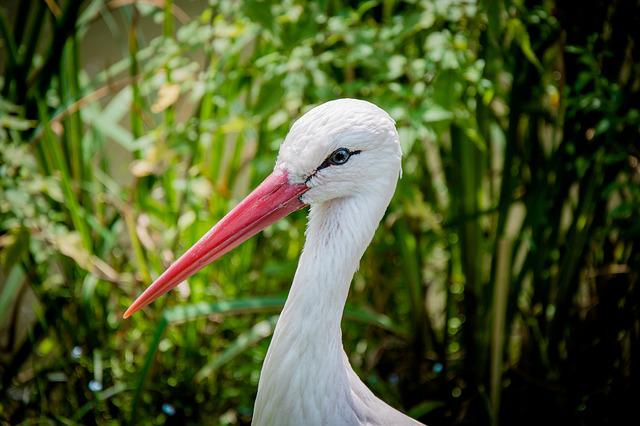 White Stork, Eastern, Head, Bill, Bird, Stork, Animal
