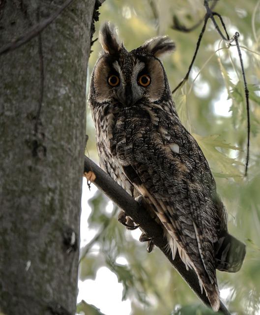 Long Eared Owl, Bird, Wild Bird, Owl