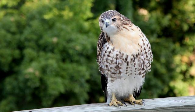 Hawk, Wildlife, Bird, Animal, Nature, Wild, Feather
