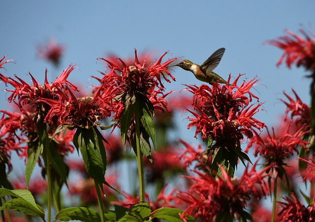 Hummingbird, Wild Flower, Bird