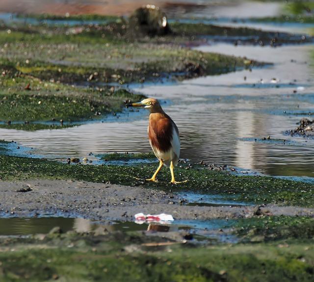 Bird, Pond, Heron, Javan, Animal, Nature, Wild