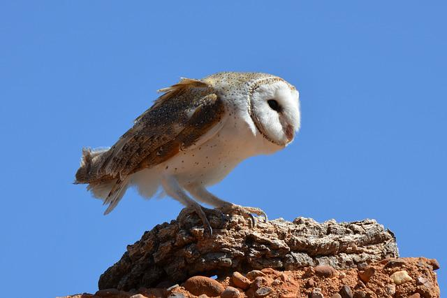 Barn Owl, Owl, Bird, Wildlife